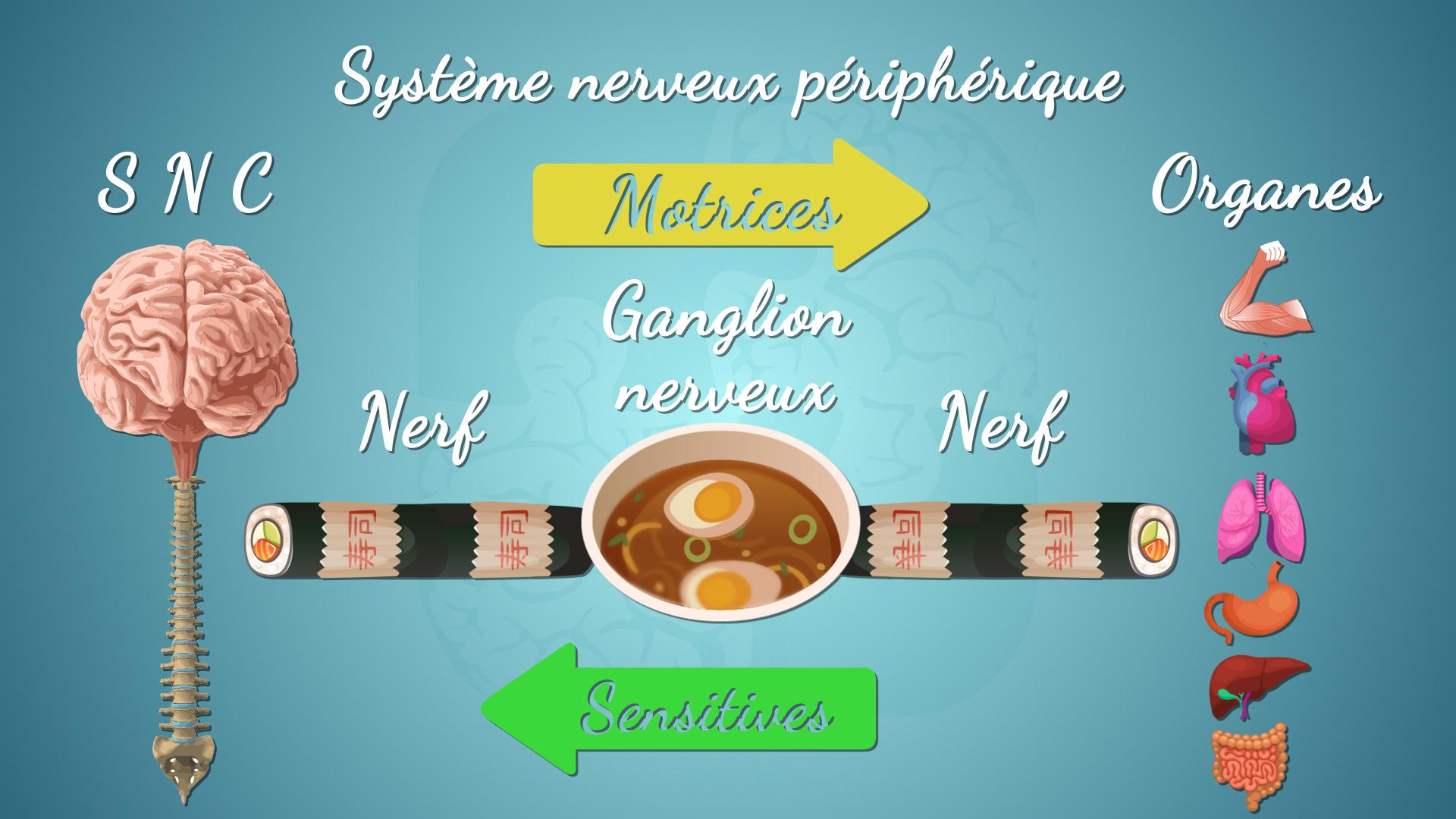 Le système nerveux périphérique en résumé